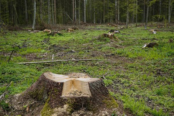Wycinka drzew Knurów